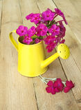 Bouquet of pink phloxes in a watering-can Stock Photos