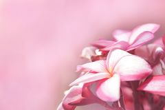 The bouquet of pink plumerias flowers on the right side of picture,with pink background for text stock image