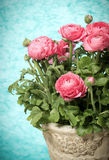 Bouquet of pink ranunculus flowers Stock Image