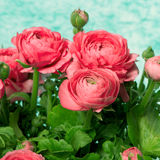 Bouquet of pink ranunculus flowers Royalty Free Stock Images