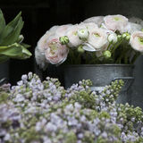 Bouquet of pink ranunculus Stock Image