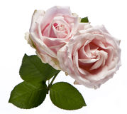 Bouquet pink rose Royalty Free Stock Photography
