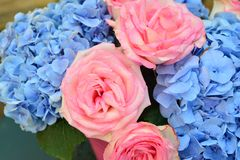 Bouquet of pink roses and blue hydrangea royalty free stock photos