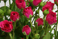 Bouquet of pink roses. Stock Photography