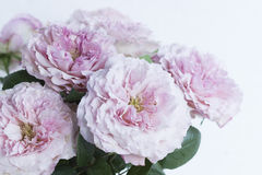 Bouquet of pink roses. Few pink garden roses on the left side of the image on white background Stock Images