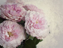 Bouquet of pink roses. Few pink garden roses on the right side of the image Royalty Free Stock Image
