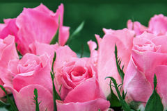 Bouquet of pink roses. With green branches, in the background is blurred, green, petals Stock Photography