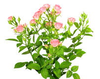 Bouquet of pink roses with green leafes royalty free stock photo