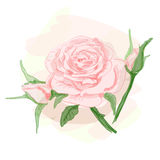Bouquet of pink roses. Vector image. Stock Photography