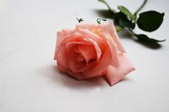 Beautiful bouquet of pink rose flowers isolated on white background royalty free stock photos