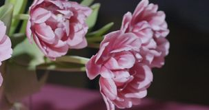 Panoramic video of close-up tulips are pink terry in a bouquet with green leaves on a light pink grey background with. A bouquet of pink terry tulips with green stock video footage