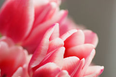 Bouquet pink tulip Royalty Free Stock Images