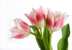 Bouquet of the pink tulips Royalty Free Stock Image