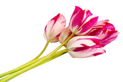 Bouquet of pink tulips. On a white background Royalty Free Stock Photos