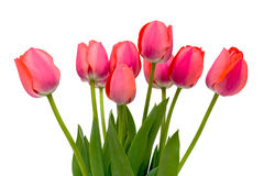 Bouquet of pink tulips. On a white background Stock Images