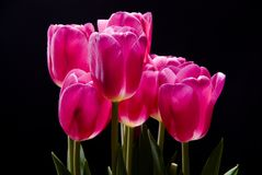 A bouquet of pink tulips on a. Black background Stock Image