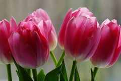 Bouquet of pink tulips. A beautiful bouquet of pink tulips Stock Photography