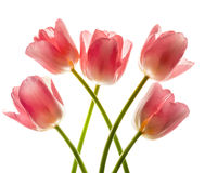 Bouquet of pink tulips in bright backlight. Royalty Free Stock Images