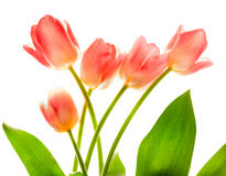 Bouquet of pink tulips in bright backlight. Stock Images