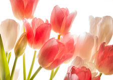 Bouquet of pink tulips in bright backlight. Stock Photos