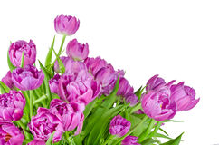 Bouquet of pink tulips in flowerpot isolated on white Royalty Free Stock Photography
