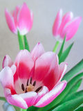 Bouquet of Pink Tulips. Bouquet of tulips with hot pink to purple petals and feathered white tips.  Offset by bright green leaves Stock Photos