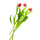 Bouquet of pink and yellow tulips on white Stock Photos