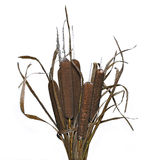 Bouquet of plants reeds isolated Royalty Free Stock Images