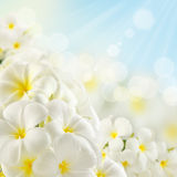 Bouquet of plumeria flowers Royalty Free Stock Images