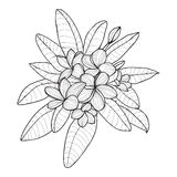 Bouquet with Plumeria or Frangipani flower on white background. Vector floral elements in contour style for coloring book or summer design Stock Photos