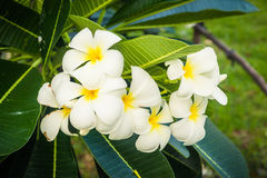 A bouquet of plumeria ( frangipani ) flowers on trees Royalty Free Stock Photography