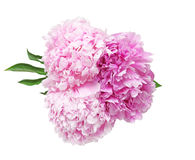 Bouquet of poeny Royalty Free Stock Image