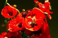 Bouquet of poppies. Red flowers sign of remembrance day. Vintage Stock Image