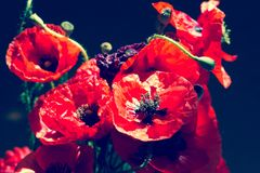 Bouquet of poppies. Red flowers sign of remembrance day. Vintage Royalty Free Stock Photo