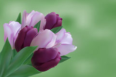 Bouquet of puple tulips. On green backgraund Stock Photos