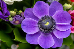 Bouquet. Purple anemone. Is in the foreground Stock Photography