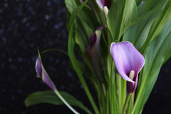 Bouquet of purple calla lilies Royalty Free Stock Images