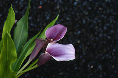 Bouquet of purple calla lilies Stock Images