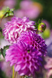 Bouquet of purple dahlias. Purple background Royalty Free Stock Photography