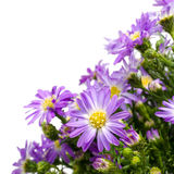 Bouquet of purple daisy, isolated on white background Stock Image