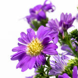 Bouquet of purple daisy, isolated on white background Royalty Free Stock Image