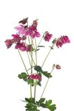 Bouquet of purple flowers columbine isolated on white Royalty Free Stock Photos