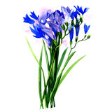 Bouquet of purple freesias flower, isolated watercolor illustration on white Royalty Free Stock Photography