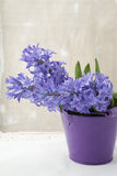 Bouquet of purple hyacinths Royalty Free Stock Images
