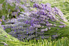 Bouquet of Purple Lavender Stock Photos
