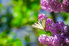 Bouquet of purple lilac magic swallowtail butterflyeen. Stock Photography