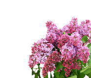 Bouquet of purple lilac on white Royalty Free Stock Photo
