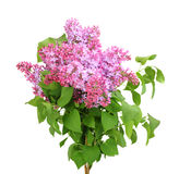 Bouquet of purple lilac on white Stock Photo