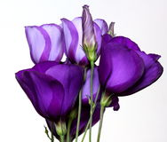 Lisianthus. Bouquet of Purple Lisianthus Against a White Background Royalty Free Stock Photos