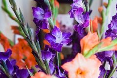Bouquet of Purple and Orange Gladiola Flowers Inside a Home. Close up photo of a purple and orange gladiola bouquet ine a room in a home royalty free stock photos
